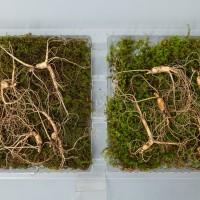 산양산삼 7~8년근 10뿌리